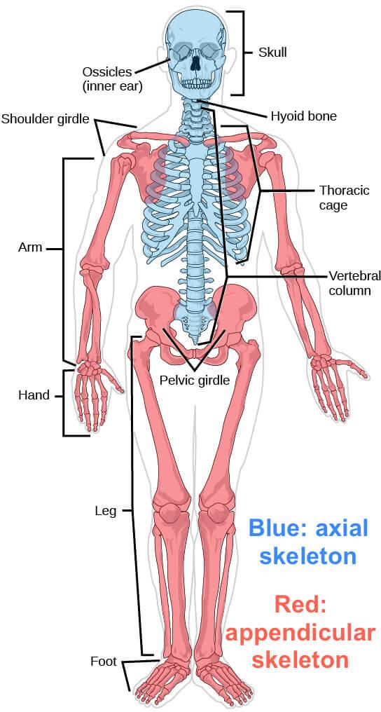 मानव शरीर और उसके अंग : यहाँ देखें मानव शरीर के अंग और इसके कार्य की विस्तृत जानकारी_50.1