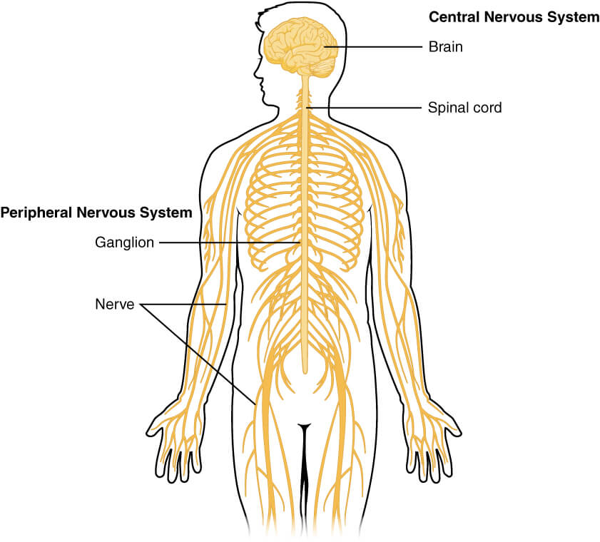 मानव शरीर और उसके अंग : यहाँ देखें मानव शरीर के अंग और इसके कार्य की विस्तृत जानकारी_60.1