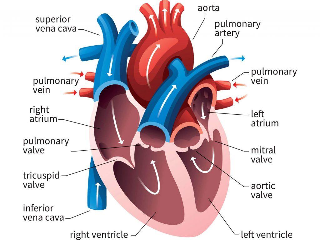 मानव शरीर और उसके अंग : यहाँ देखें मानव शरीर के अंग और इसके कार्य की विस्तृत जानकारी_70.1