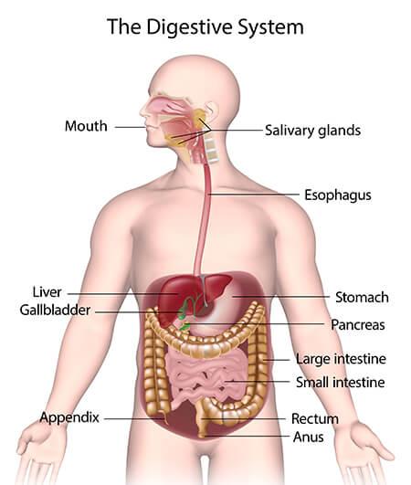 मानव शरीर और उसके अंग : यहाँ देखें मानव शरीर के अंग और इसके कार्य की विस्तृत जानकारी_80.1